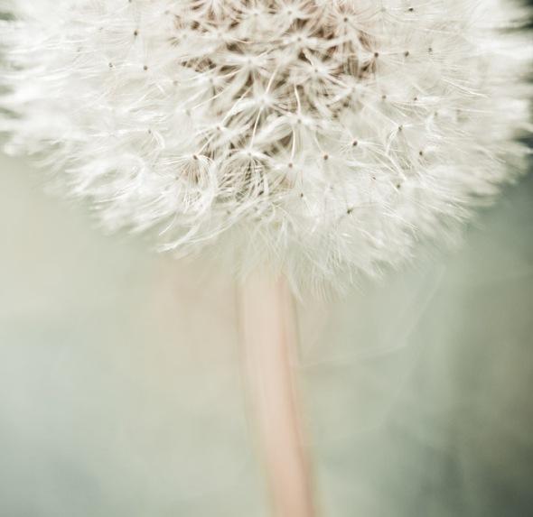 Macro Dandelion Photograph