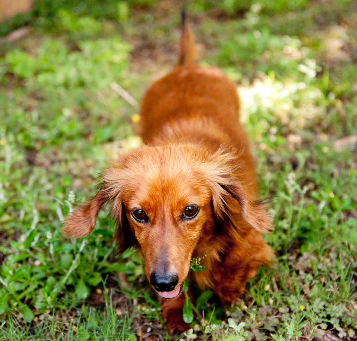 Alabama Pet Photography: Duncan the Dachshund  (2/4)