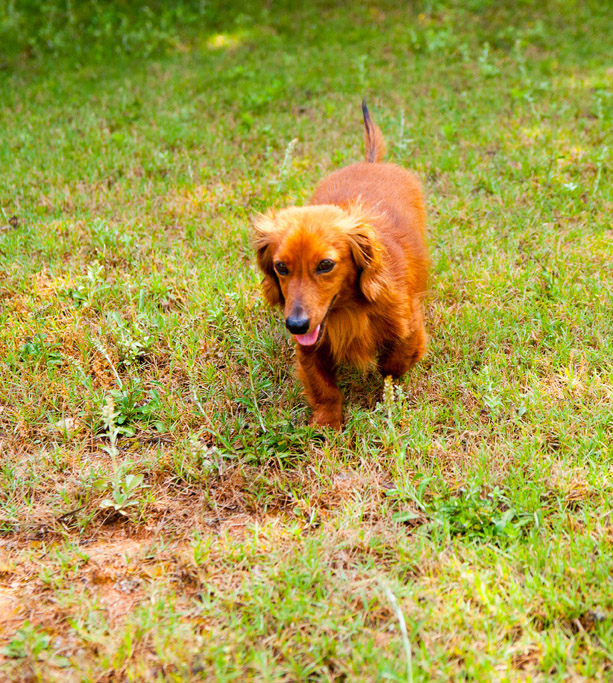 Alabama Pet Photography: Duncan the Dachshund  (3/4)