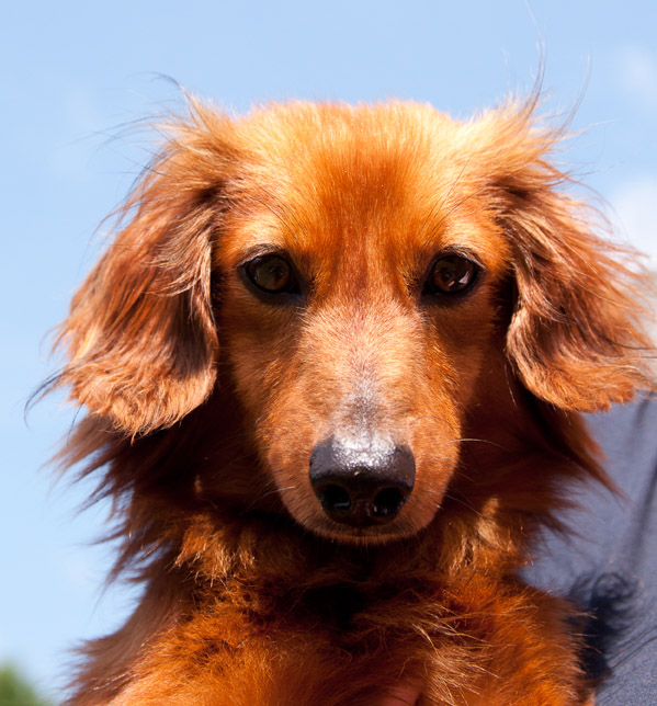 Alabama Pet Photography: Duncan the Dachshund  (1/4)